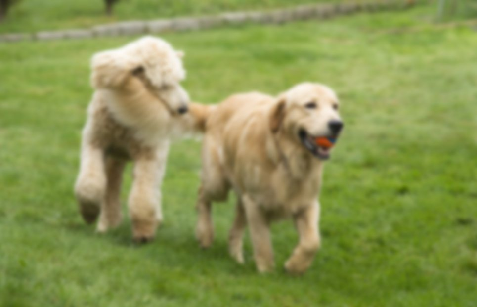 Happy Golden Retriever Dog with Poodle Playing Fetch Dogs Pets